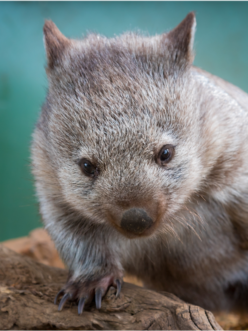 MAGNET - Baby Wombat 'Maria' at Bonorong Wildlife Sanctuary