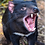 Paul Fleming print Tasmanian Devil