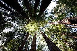 Muir_woods.jpeg