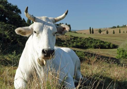 Chianina-Cattle_mkistryn-iStock-Thinksto