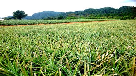 ピーチパイン畑