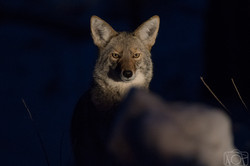 Coyote, Yosemite National Park.