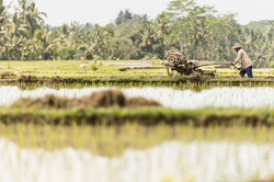 Rice Terraces, Ubud, Bali.
