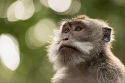 Macaco cangrejo, Indonesia.