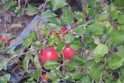 Partyka Farms apples