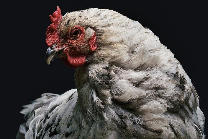chicken-1851495_1920.jpg