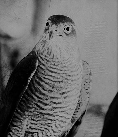 sparrow hawks (1).jpg