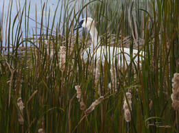 Nesting Trumpeter Swan