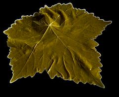 grape leaf.png