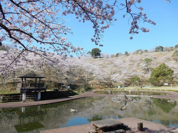 野津町 吉四六ランドの桜