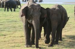 sloni v MInneriya parku