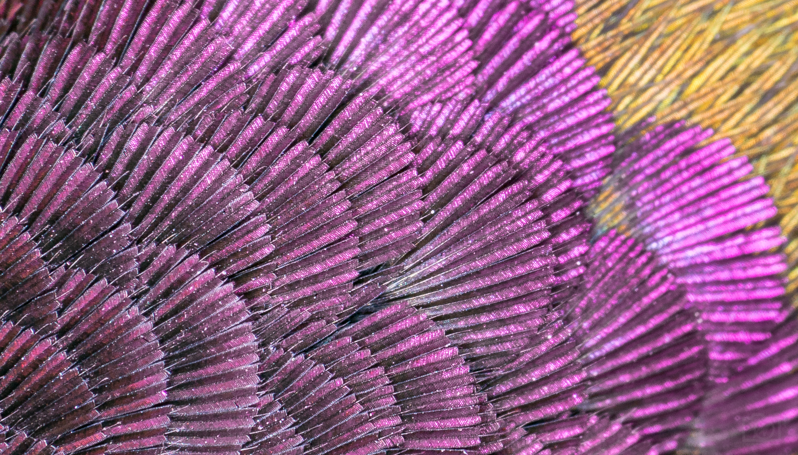 Hummingbird Feathers Macro