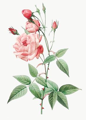 5152088-vintage-pink-rose-drawing-free-t