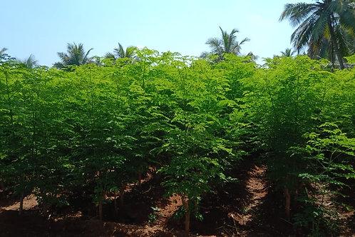Organic Moringa Oleifera Leaf Extract Concentrate