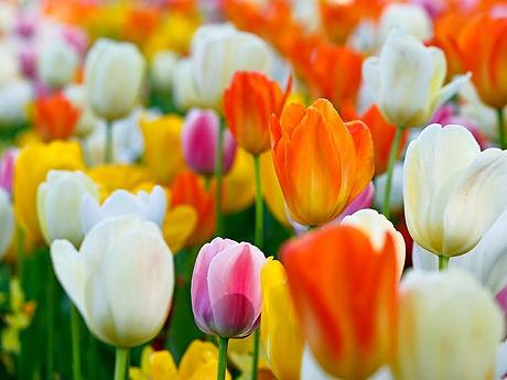 closeup of colorful tulips 191.jpg