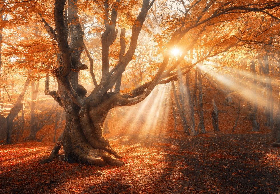 Magical old tree with sun rays in the mo