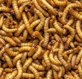Insects-could-be-the-next-big-feed-segme