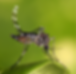 Aedes_aegypti_edited.png