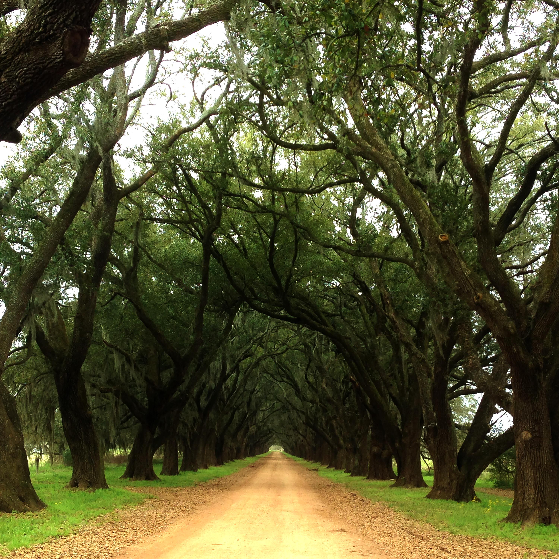 drivewayoftrees