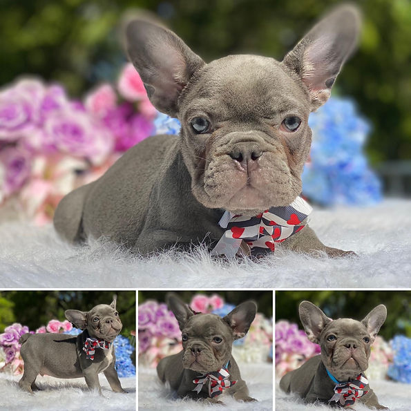 Yoshi Lilac & Tan male Available now.jpg