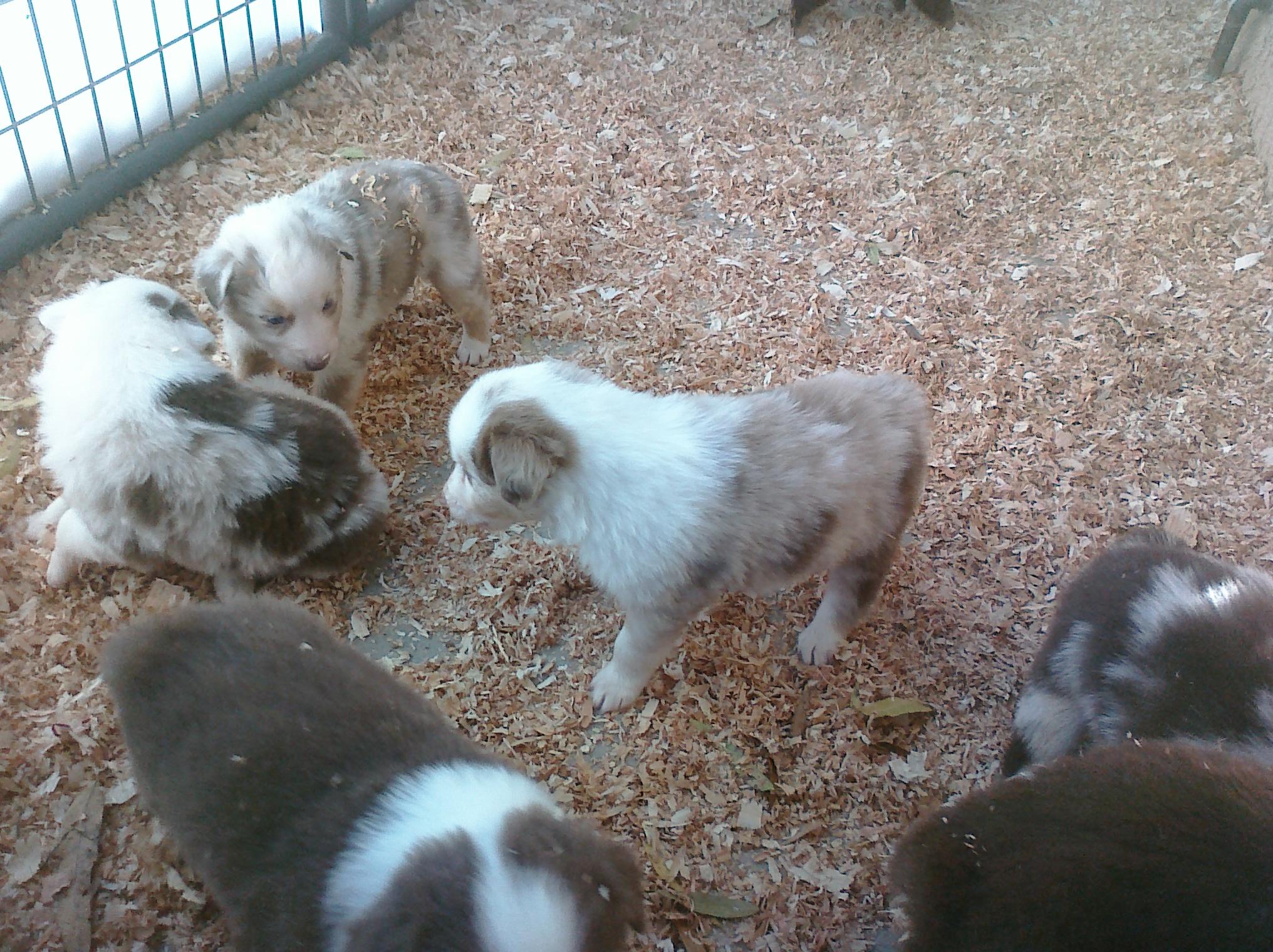Nov Puppies - 4 weeks 9.jpg