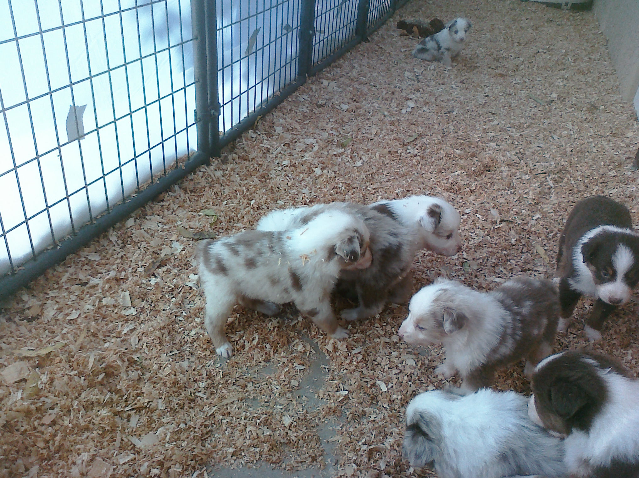 Nov Puppies - 4 weeks 7.jpg