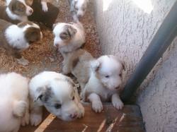 Nov Puppies - 4 weeks 13.jpg