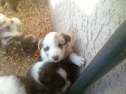 Nov Puppies - 4 weeks 12.jpg