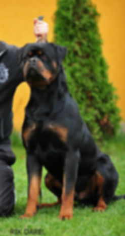 Rottweiler puppies for sale in Orlando, Rottweiler puppies for sale in Florida, Orlando Rottweiler puppies, Florida rottweiler breeders, Orlando rottweiler breeders, Rottweiler puppies, German Rottweiler Breeder in Florida, Valhalla Rottweilers, European rottweiler breeders in florida