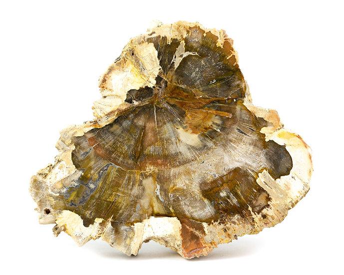 Tranche Bois fossile - Pétrifié