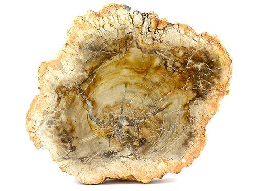 Coupe Bois fossile - Tranche Pétrifié