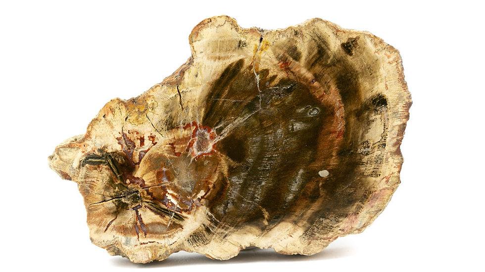Bois fossile - Tranche Pétrifié
