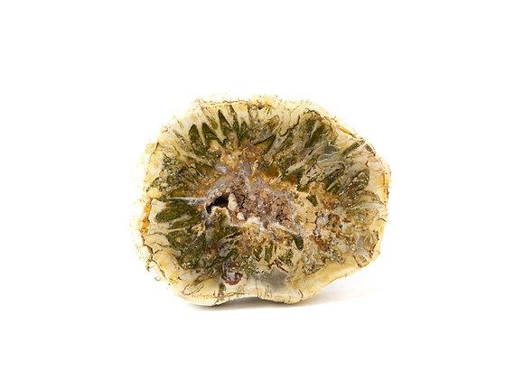 Bois pétrifié, fossile - Tranche polie
