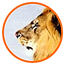 Lion_feature_05.png