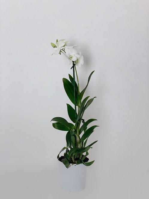 סחלב דנדרוביום אמה לבן- ענף בודד