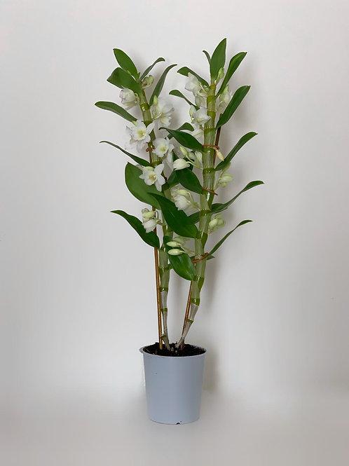 סחלב דנדרוביום נובילי לבן/סגול- 2 ענפים