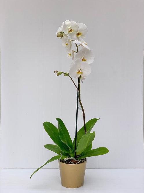 סחלב פלנופסיס לבן- ענף בודד