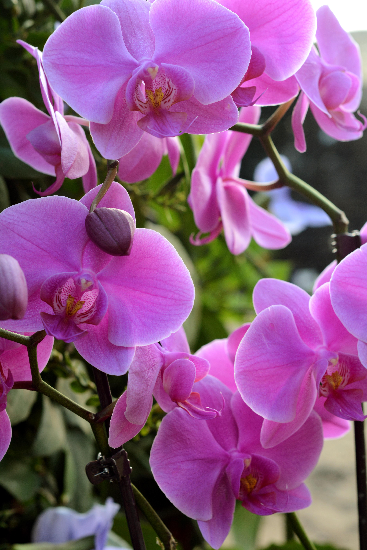 פרחי סחלבים