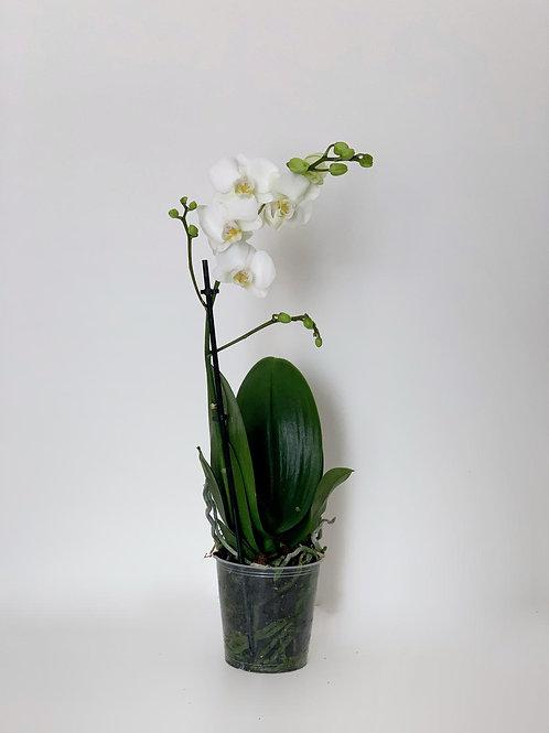 סחלב מולטי- לבן ענף בודד