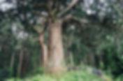 玉杉.JPG