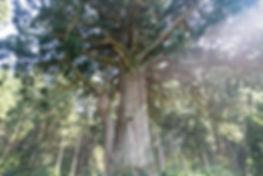 tamasugi.jpg