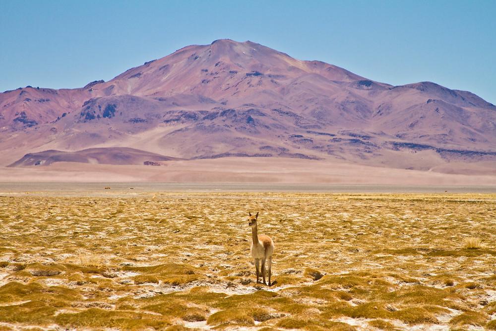 vicunha deserto montanha