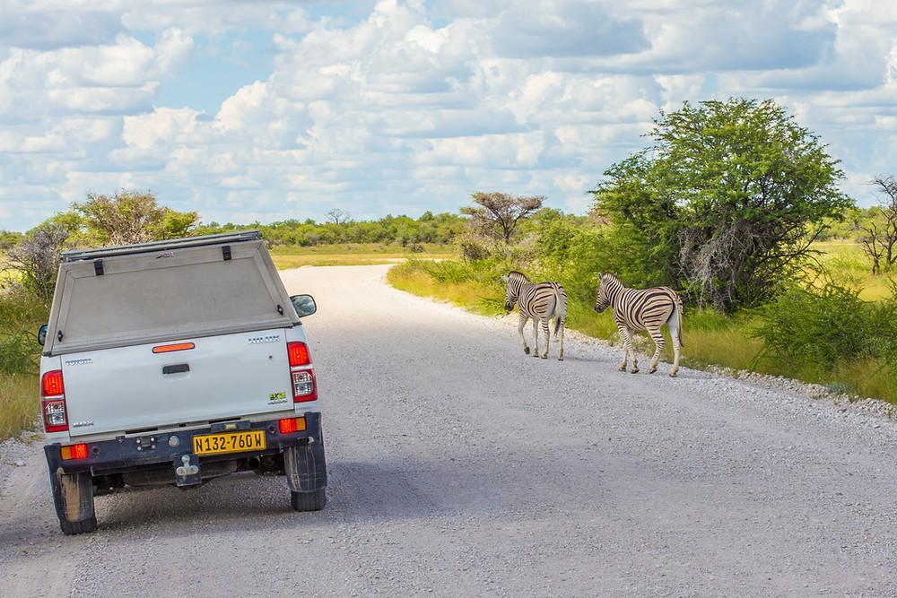 zebras carro safari