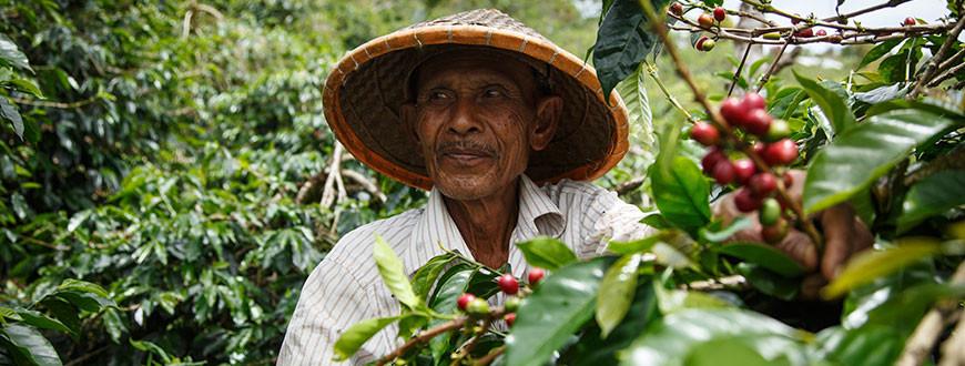 Travailler du commerce équitable dans une culture de café