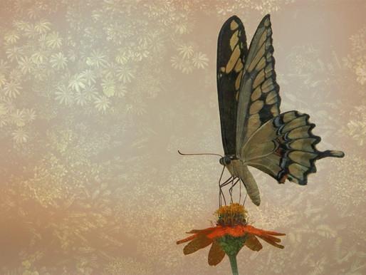 Do we transform like Butterflies?