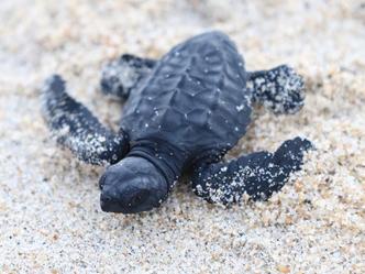 30 Years of InterVol: Palmarito Sea Turtle Rescue