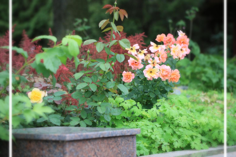 роза и астильба