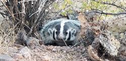 badger mama