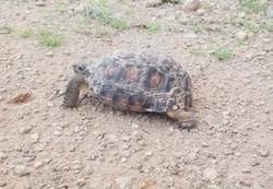 small desert tortoise