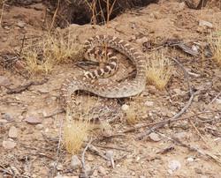 non poisonous snake